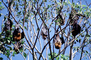 Bats Hanging from a Tree, AMBV01P04_09
