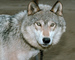 Wolf and Husky, Wolves, Alaska, AMDV01P03_07