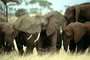 African Elephants, tusk, ivory, AMEV01P05_10