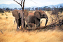 African Elephants, AMEV01P05_17