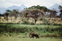 African Elephants, AMEV01P06_03