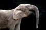 African Elephant, AMEV01P09_15