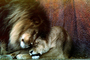mane, love, loving, lioness, affection, sweet, Lion, male, female