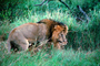 mating Lion, Africa
