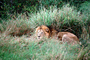 mating Lion and Lioness, Africa