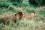 mating Lion and Lioness, Africa, AMFV01P12_11