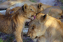 Lion, cub, female, Africa