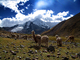 Llama, (Lama glama), Nevado Ausangate Mountain, Andes Mountain Range, Photo by Nathan Heald