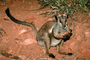 Rock Wallaby, Nocturnal, AMMV01P01_15