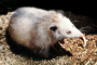 Virginia Opossum, (Didelphis virginiana), Nocturnal Animal, Possum, AMMV01P05_09