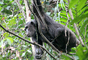 Chimpanzees, (Pan troglodytes schweinfurthii), Hominidae, Chimps, Mahale Mountains National Park, Tanzania, AMPD01_068