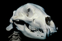 Bear Skull, skeleton, bones