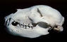 subadult Grizzly Bear skull, bones, teeth, jaw, eye socket, AMUV01P03_17