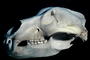 Adult Female Grizzly Bear Skull, bones, teeth, jaw, eye socket