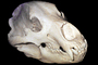 Bear Skull, bones, teeth, jaw, AMUV01P09_13