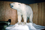 Polar Bear, Taxidermy, AMUV01P12_04