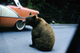 Feeding the Bear, Dangerous Behavior, cars, automobiles, vehicles, 1960's, AMUV01P12_17