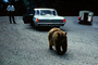 Feeding the Bear, Dangerous Behavior, Cars, automobile, vehicles, 1950's, AMUV01P13_01
