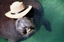 Manatee Face, funny, humorous, humor, wearing a hat