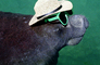 Manatee Face, funny, humorous, humor, wearing sunglasses and a hat