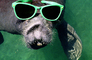 Manatee Face, funny, humorous, humor, wearing sunglasses