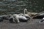Harbor Seals, Russian River Mouth, Pacific Ocean, Sonoma County, AOSD01_029