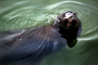 Harbor Seal, face, swimming, AOSD01_106