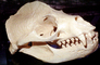 Sealion Skull, Bone, AOSV02P03_10