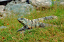Black Spiny-tailed Iguana at Tulum, (Ctenosaura similis)
