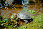 Turtle, Stow Lake, ARTV01P01_03.2467