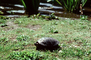 Turtle, Stow Lake, ARTV01P01_04
