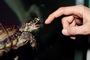 Spotted Turtle, (Clemmys guttata), Emydidae, Emydinae, Freshwater, finger, hand, ARTV01P06_05