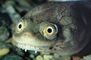 funny face, eyes, New Guinea Side Neck Turtle, (Chelodina siebenrocki), Pleurodira, Chelidae, funny face, smile, eyes