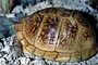 Three Toed Box Turtle, (Terrapene carolina triumguis), female, Box Turtle, Emydidae, Terrapene, ARTV01P13_11