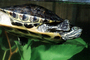 Red Eared Slider, (Trachemys scripta), Emydidae, Turtle, freshwater, ARTV02P01_03