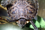 Red Eared Slider, (Trachemys scripta), Emydidae, Turtle, freshwater, ARTV02P01_05