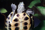 Red Eared Slider, (Trachemys scripta), Emydidae, Turtle, freshwater, ARTV02P01_07