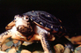 Spotted Turtle, (Clemmys guttata), Emydidae, Emydinae, Freshwater, ARTV02P05_05