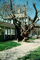 Giant Front Yard Tree, sidewalk, house, building