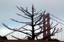 Spindly Bare Tree and the North Tower of the Golden Gate Bridge in Marin County
