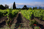 Springtime in Napa Valley, Vineyard Rows, Peju Winery, Rutherford, FAVD01_133