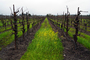 Vinyard in the Winter, Vines, Vanishing Point, Convergence