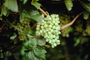 White Grapes, Grape Cluster, FAVV02P10_15.0943