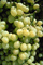 white grape, White Grapes, Grape Cluster, FAVV02P12_06.0943