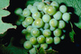 White Grapes, Grape Cluster, FAVV02P15_16.0943