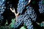 Red Grapes, Grape Cluster, FAVV03P01_04