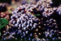 Red Grapes, Grape Cluster, FAVV03P08_13