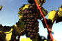 Red Grapes, Grape Cluster, FAVV03P09_19