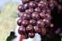 Red Grapes, Grape Cluster, close-up, FAVV03P10_05