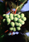 White Grapes, Grape Cluster, FAVV03P10_11
